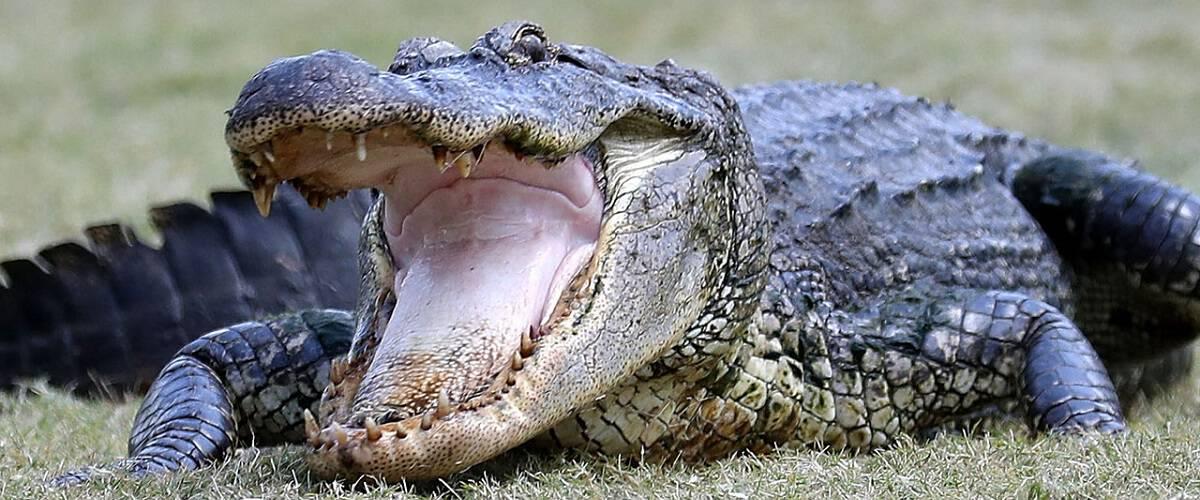 survive alligator gator attack encounter fight
