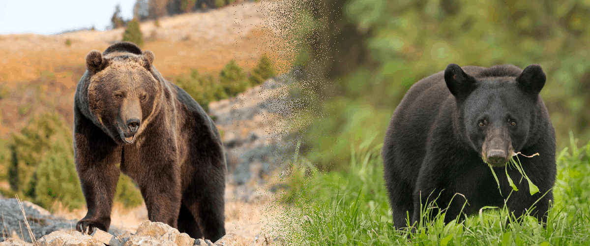 Grizzly Brown Black Bear Encounter How To Survive
