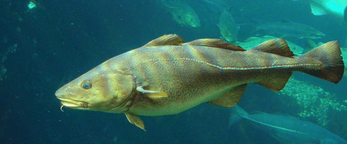 alaska cod dying fishing global warming