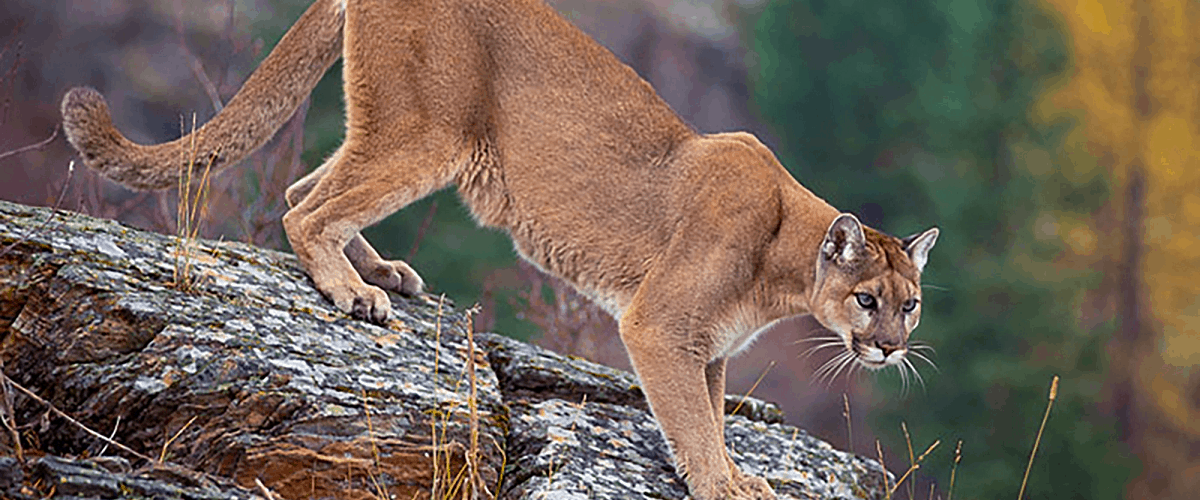 mountain lion hiking trail encounter how to advice